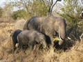 Elephants Grazing, Sabi Sand Game Reserve, &copy;Cathy Fairgrieve